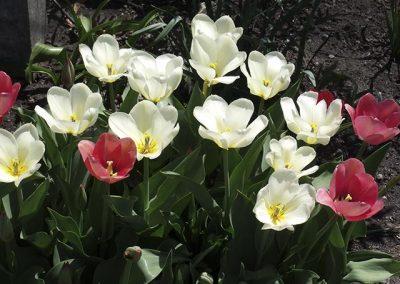 #17 Tulips (Blank inside)