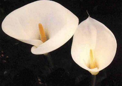 #7 Carmel Lilies